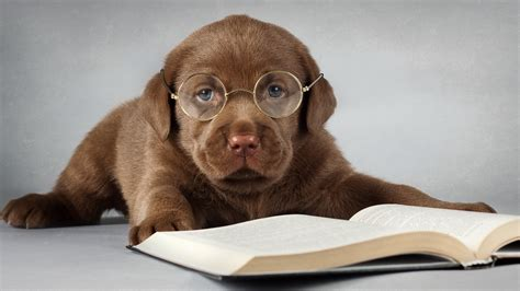 puppy with glasses fondo de pantalla with glasses hd