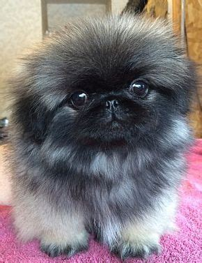 want ad digest dogs 17 best ideas about pekingese puppies for sale on pekingese puppies