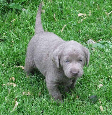 silver labrador puppies matron s dogblog
