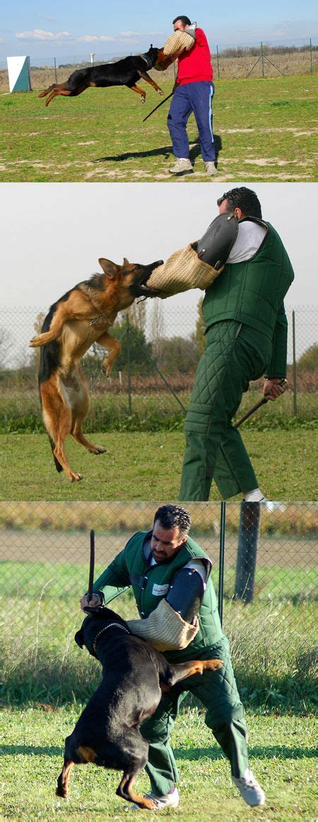 how to your to attack on command your to attack on command spartadog dogtraining dogs