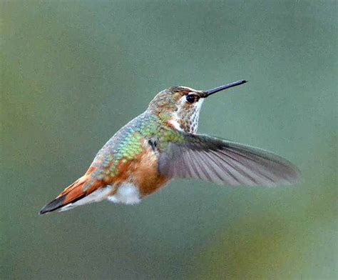 photos of hummingbirds in the fall of 2012