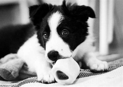 black and white puppy puppy in black and white gt puppy toob