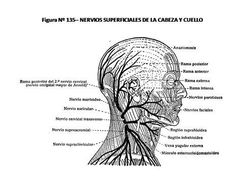 cadenas ganglionares cara atlas de anatom 205 a humana 135 nervios superficiales de la