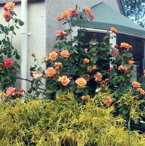 westerland fragrant rose
