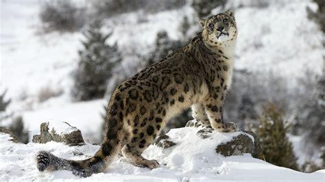 snow pictures snow leopard expedition snow leopard tour andbeyond