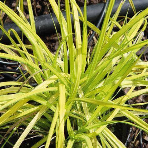 bambus im garten pflanzen 2002 bild tipp f 252 r den topf zwerg bambus sasa pumila ein