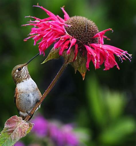 7 best images about hummingbird garden on pinterest