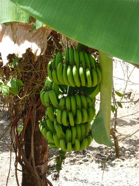 bananas on tree sofi