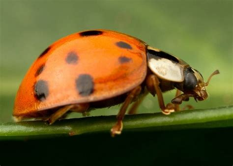 bed bugs black spots 17 best images about ladybugs insects bugs on pinterest orange bodies macro