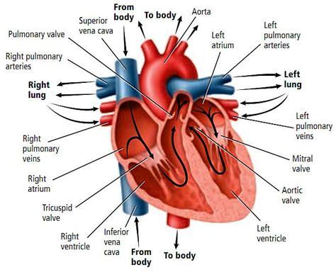 fungsi jantung dalam tubuh manusia yayasan jantung