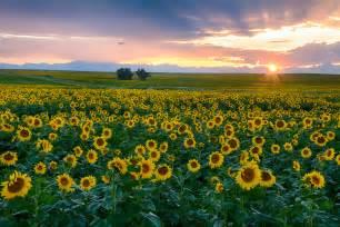 sunflower fields sunflower fields at sunset outside denver