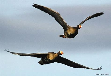 Biojanna 6 By A D Bird migrating birds search refrences bird