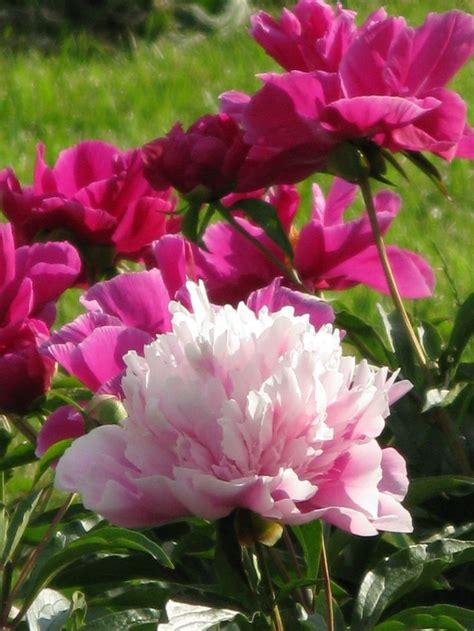 light pink peonies peonies types of flowers flower muse mixed peonies light pink flowers of paeonia lactiflora