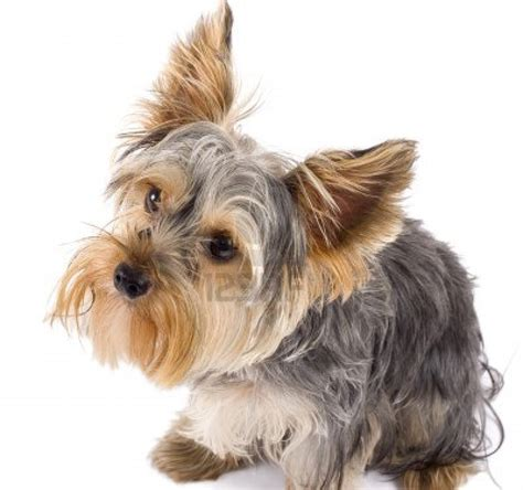 yorkie terrier dogs dogs terrier dogs