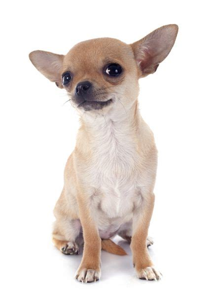 chihuahua puppy care what is the average length in a chihuahua care the daily puppy