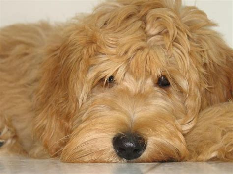 mini goldendoodles southern california 17 best images about golden doodle on