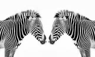 what color is a zebra what color is a zebra are zebras black with white