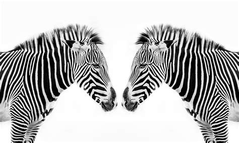 what color is a zebra s skin what color is a zebra are zebras black with white