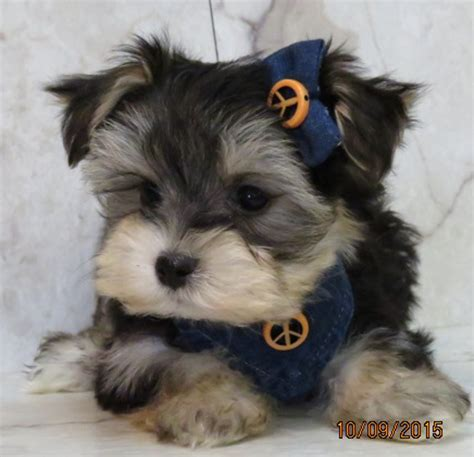 yorkie mix puppies for sale in mn www ohpuppylove breeds morkie shorkie maltipoo poodle mix maltipoos for