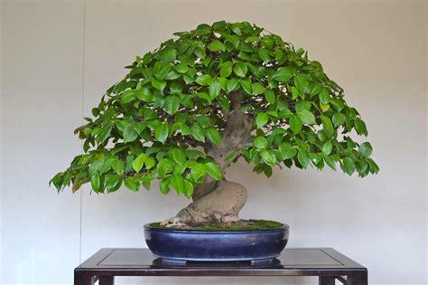 Bonsai Baum Arten by Evergreen Bonsai Trees