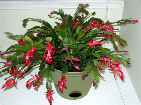 christmas plants christmas cactus the purling pundit