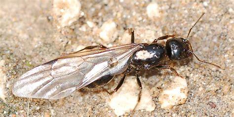 formiche volanti invasione di formiche enormi volanti messor capitatus