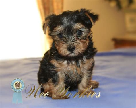 teacup yorkie for sale in dallas teacup yorkie for sale in fort worth tx breeds picture