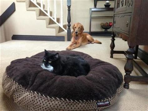 cats in dog beds cats taking over dog beds 19 pics pleated jeans