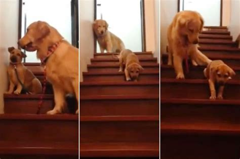 golden retriever stairs adorable clip of teaching puppy how to use stairs will warm your mirror