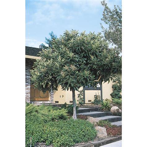 shop  gallon japanese loquat tree   lowescom