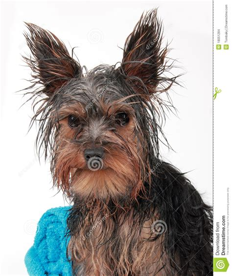 how to bathe yorkie puppy terrier stock images image 18051284