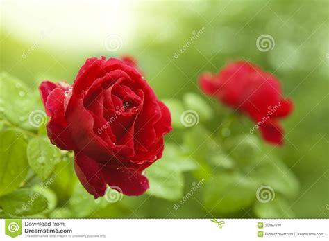 imagenes de rosas rojas frescas rosas rojas naturales foto de archivo imagen de planta