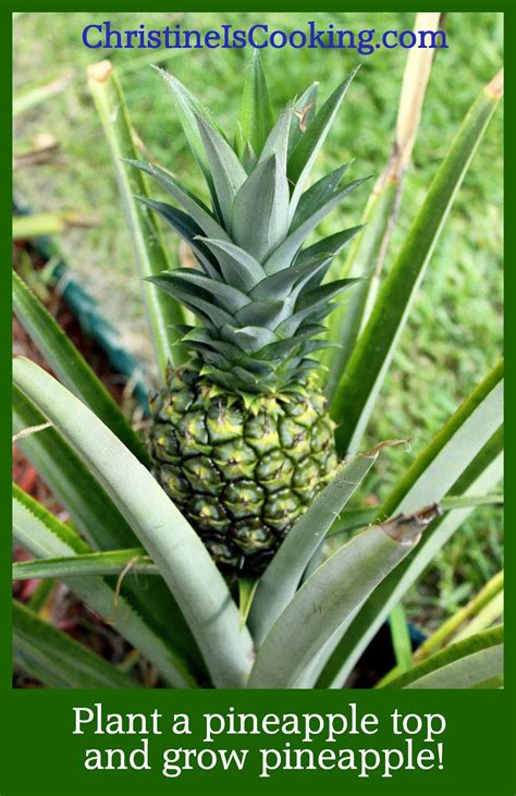 Pineapple Top christineiscooking how to plant a pineapple top and