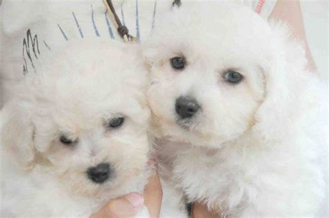 bichon frise puppies for adoption adopt a bichon frise find dogs for adoption breeds picture