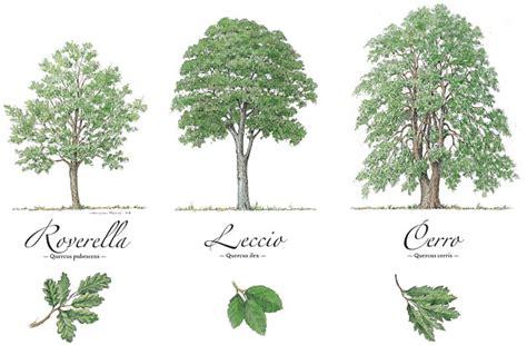 albero da interno adea amici degli alberi riconoscere gli alberi