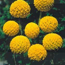 drumstick plant garden flower seeds flowers home