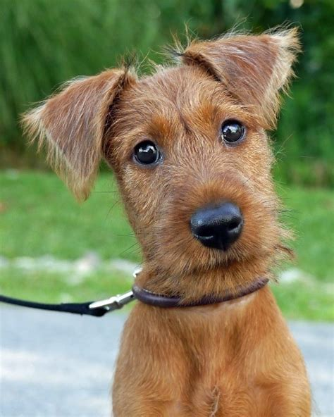 terrier puppies terrier puppies breeds picture