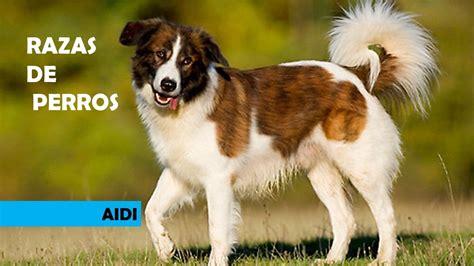 atlas de animales del 8430559116 razas de perros aidi perro de monta 209 a del atlas perro de pastor del atlas atlas mounteain dog