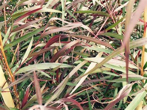 agonis burgundy diacos garden nursery  garden centre