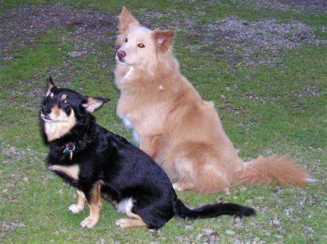 anjing kawin dogs mating pregnancy animal