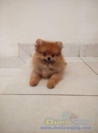 Jual Jual Minipom Jantan Kaskus dunia anjing jual anjing pomeranian minipom puppies