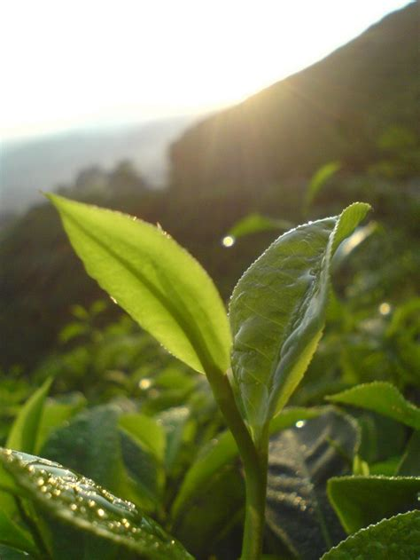 Teh Pucuk Ukuran Kecil taman nasional gunung halimun salak perkebunan teh