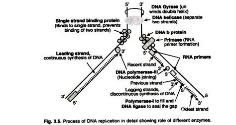 dna replication process diagram 3 phases of dna replication process with diagram
