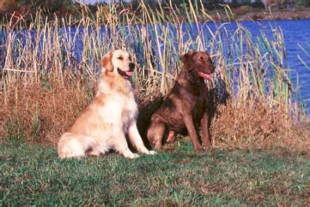 chesapeake bay golden retriever how retrievers evolved and split into their respective breeds ii history