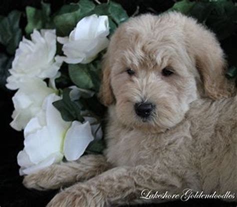 goldendoodle puppy for sale nj quality breeder of goldendoodle puppies serving ny nj