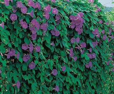 evergreen climbing plants for trellis evergreen trellis fence and trellis on