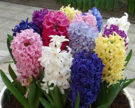 gardensonline hyacinthus orientalis hybrids