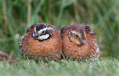 hannibal s animals bobwhite covey