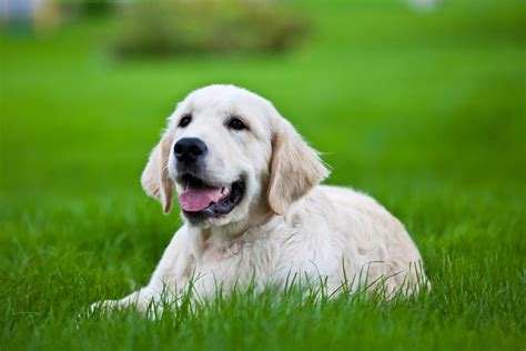 fever in puppies fever in dogs fever symptoms normal temperature