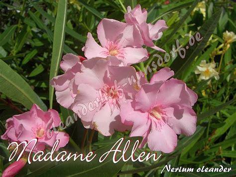 kewpie oleander madame allen nerium oleander oleanderhof